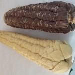 Foto - 5 - Milho Tunicata, variedade rara de encontrar