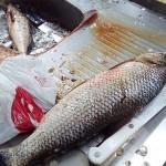 Apreensão de peixes pela Polícia Ambiental no Rio Iguaçu em São João do Triunfo-1
