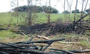 Polícia Ambiental constata corte ilegal de 30 pinheiros no interior de Palmeira