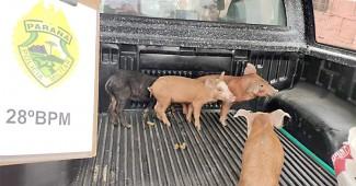 Furto de suínos em Palmeira-1_foto divulgação PM