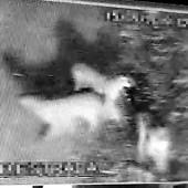 Exército alerta população sobre a presença onças na região de Palmeira_imagem reprodução